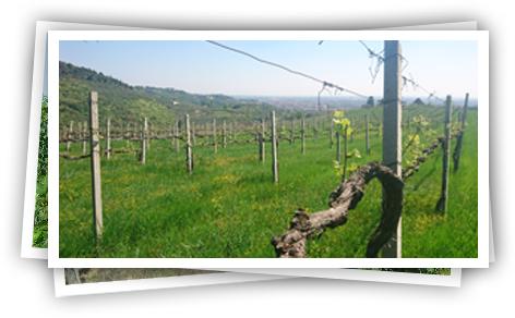 Pietro Zanoni wijngaard